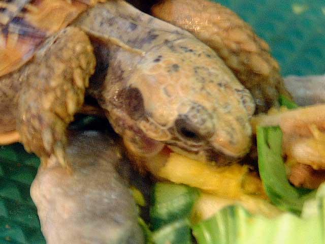パンケーキリクガメ 飼育環境